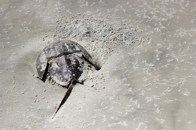 Horseshoe crab washed up on the beach