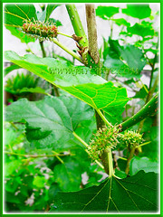 Ripening pinkish fruits of Morus nigra (Black Mulberry, Blackberry, Black-fruited Mulberry, Indian/Persian Mulberry, Silkworm Mulberry, Hei Sang), Sept 10 2015