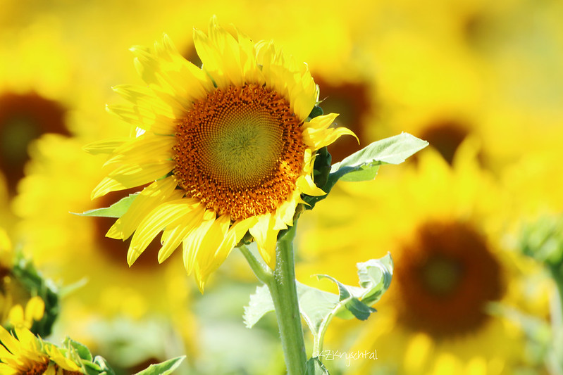 IMG_1914Sunflower