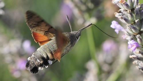 Hummingbird Hawk Moth - Macroglossum stellatarum 170915 (5)