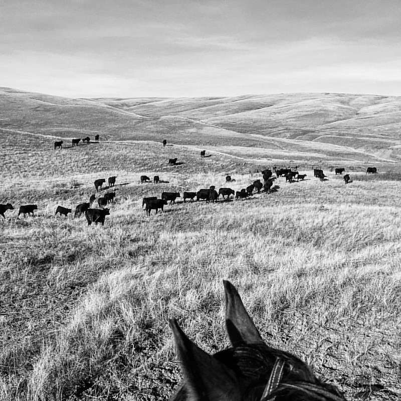 Headed towards Parker Creek. #American_agriculture_ #agrowlife #Ag #ig_equine #cows #ranchlife #ranchhorse #ranchlands #hifromsd #southdakota #love #chachithewildstallion #lifebetweentheears #betweentheirears #horsesofinstagram #cowsofinstagram #ranching