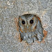 Flammulated Owl, Angeles National Forest, Los Angeles, California by Terathopius