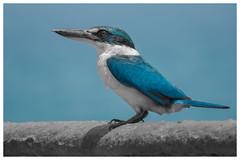 White collared kingfisher
