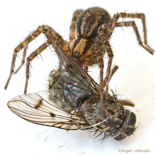 Brown Recluse Spider⁉ ♒, Nikon D7100, AF Micro-Nikkor 105mm f/2.8