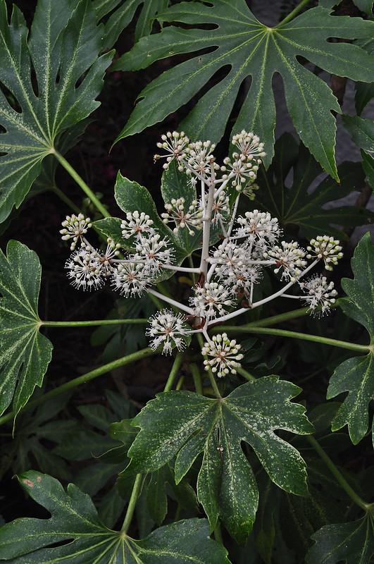 Fatsia japonica 'Spider Web'