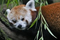 Tulikass ehk punane panda