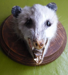 animal, opossum, virginia opossum, common opossum, mammal, whiskers,