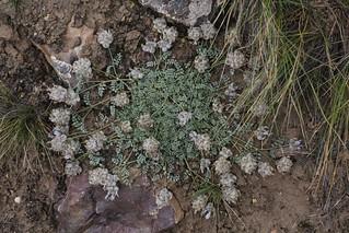Astragalus nivalis (Fabaceae)