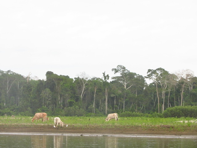 Cattle Grazing - Madre de Dios River