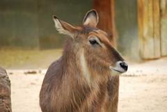 Kobus ellipsiprymnus DT [ES Zoo Madrid] (6)