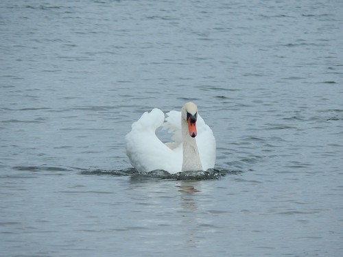 Swan. Thrybergh Country Park.
