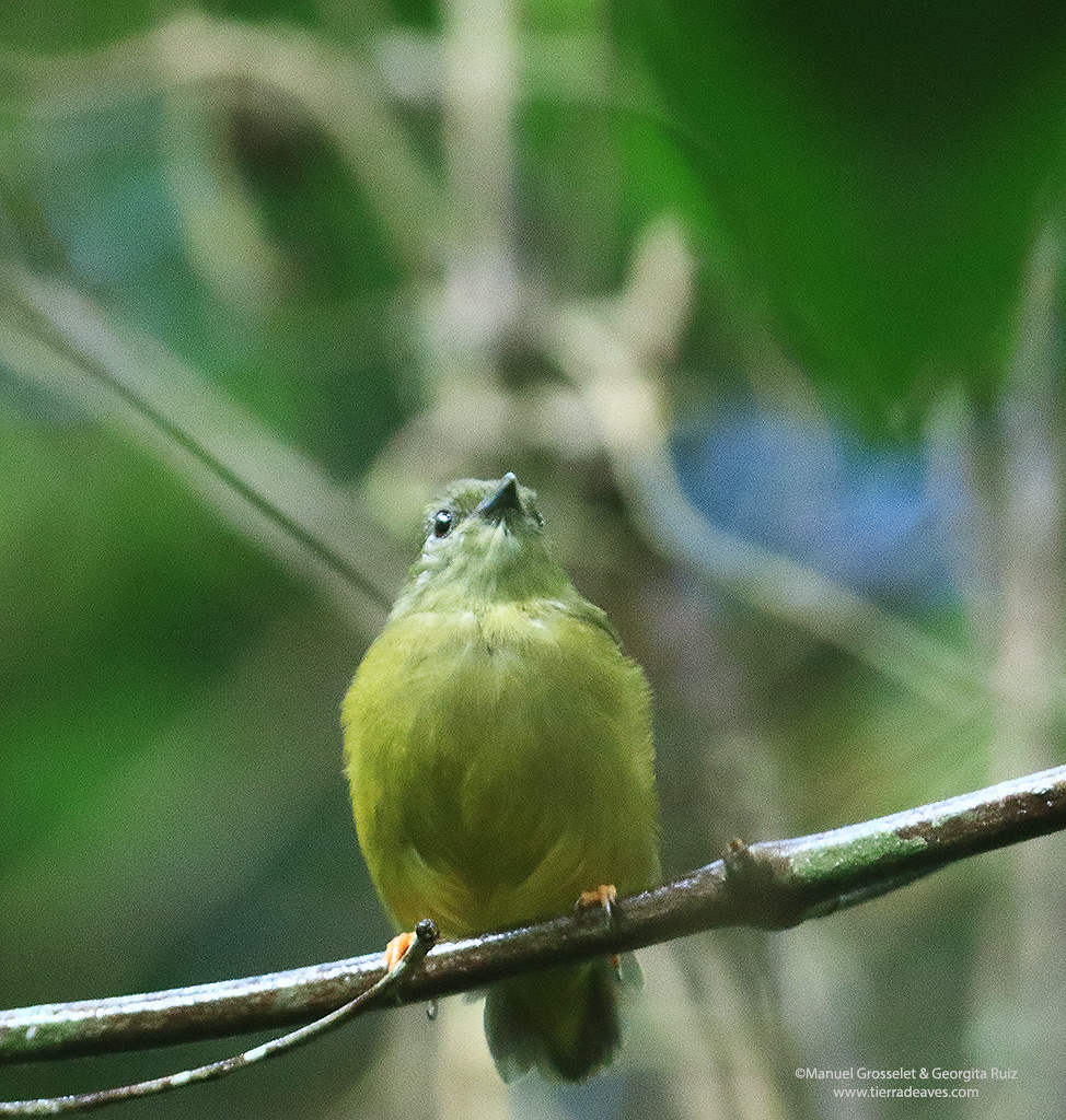 White-collared-Manakin1614