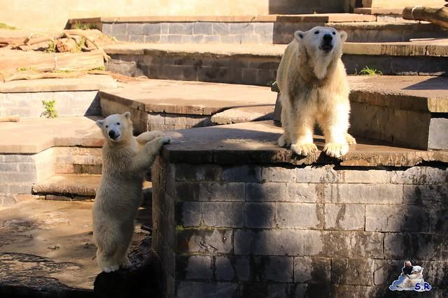 Eisbär Fiete im Zoo Rostock 26.09.2015   0236