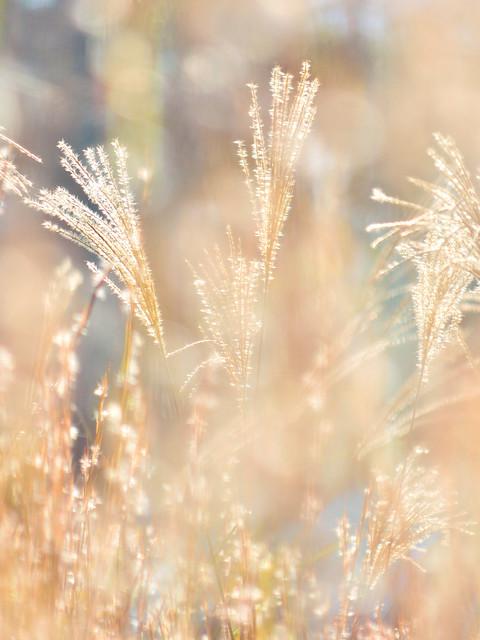 ススキ Japanese silver grass