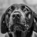 Nice Nose - Black Labrador by paul.humphrey82