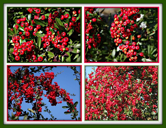 """Firethorn displays these beautiful bright berries."""