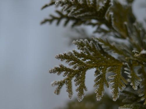 foggy cedar