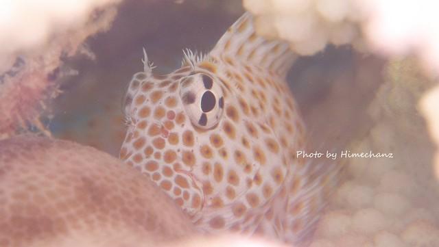 セダカギンポ幼魚ちゃん♪ やっとカメラ慣れしてきてくれたw