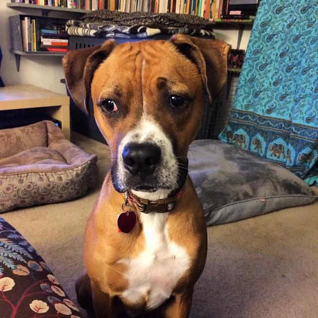 Begface #begface #dogs #boxerdog