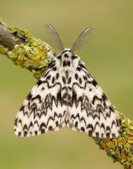 UK Moths