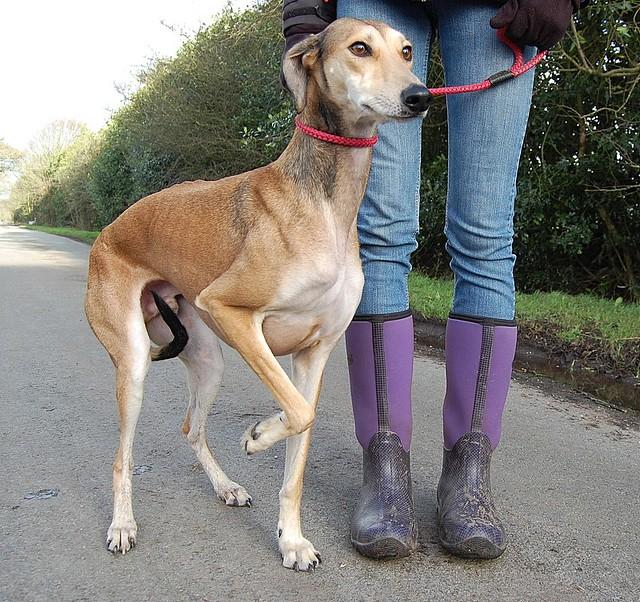 Best Saluki Greyhound Whippet Cross - Bella Esa