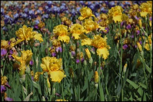 Iris Temple Gold