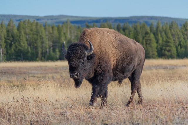 Hello Mr. Buffalo