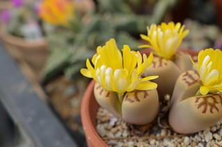 DSC_1499 Lithops dorotheae リトープス属 麗虹玉 (れいこうぎょく)