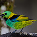 Green-headed Tanager (Dani Free)