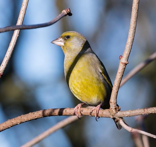 Male Greenfinch 025 (36)