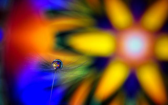 Dandelion with drop- 7DWF