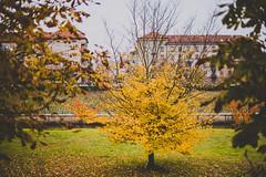 Yellow | Autumn Colors | Kaunas