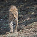 Leopard (female) (4 of 8)