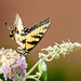 Eastern Tiger Swallowtail by malarchie