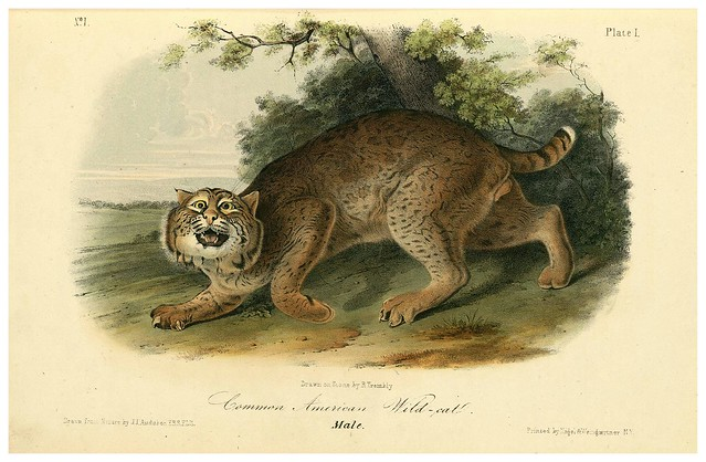 002- Gato salvaje comun-The quadrupeds of North América-Vol1- 1849- J.J. Audubon-Universite de Strasbourg