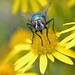 another greenbottle on ragwort! by conall..
