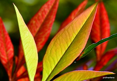 DSC_7987-001 nandina leaves , to be enlarged