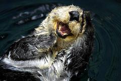 Sea Otter (Enhydra lutris), British Columbia, Canada