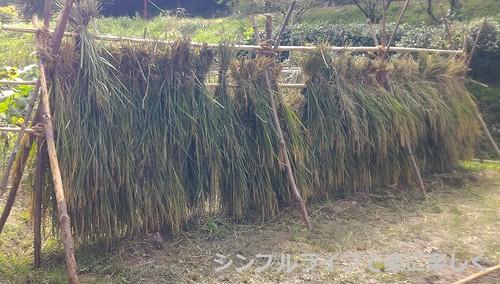 稲刈り・脱穀、稲刈り後の稲