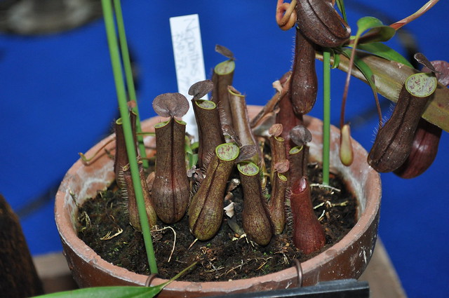 Nepenthes gracillis f. red, basal pitchers.