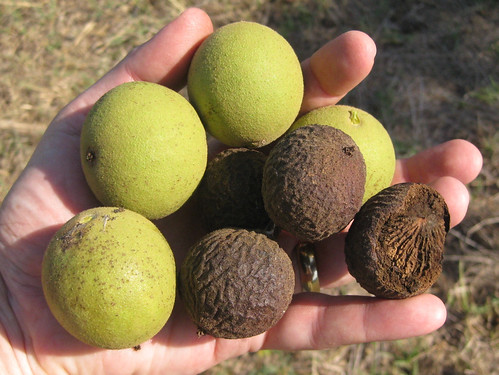Black Walnut Nut Harvest