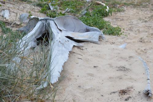 Ein Walskelett in den Dünen