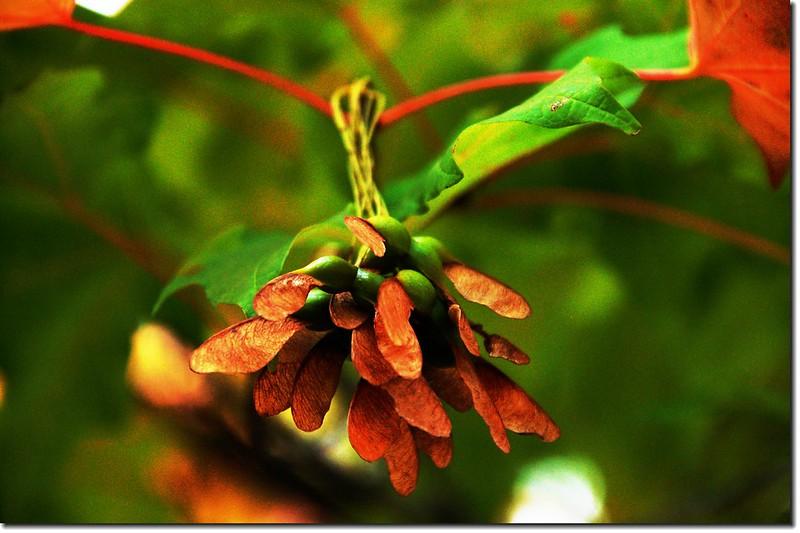 糖楓的翅果 1