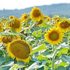 Sunshine Field (SUNFLOWERS) 07