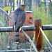 Cooper's Hawk -- Adult (Accipitor cooperii); Albuquerque, NM, Rio Grande Nature Center [Lou Feltz] by deserttoad