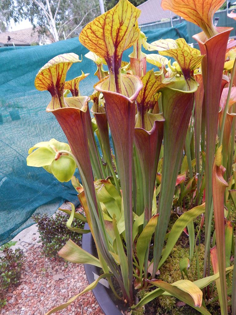 Sarracenia flava var. rubricorpora, Reytter's clone