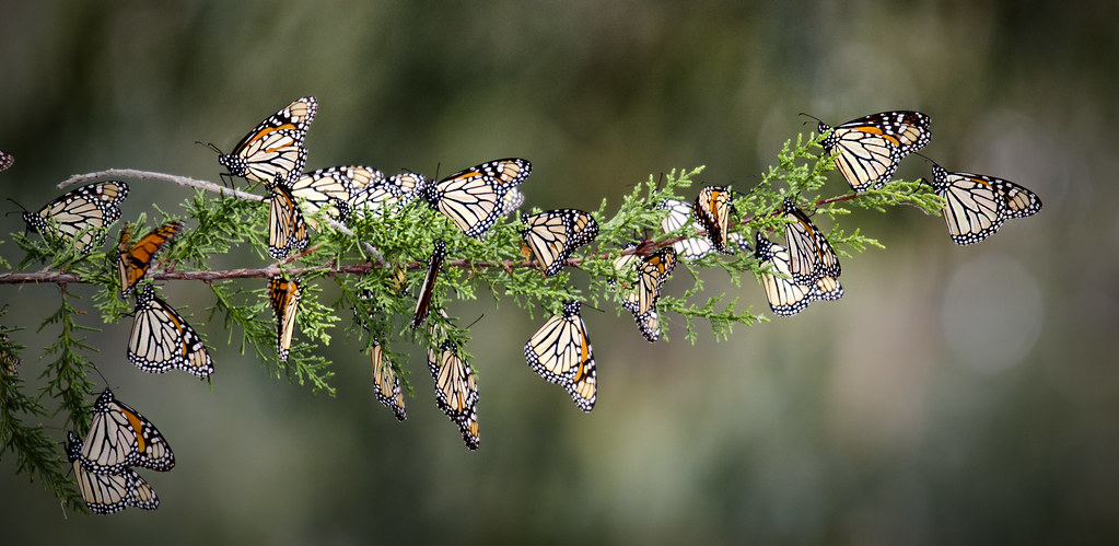 String of Monarchs