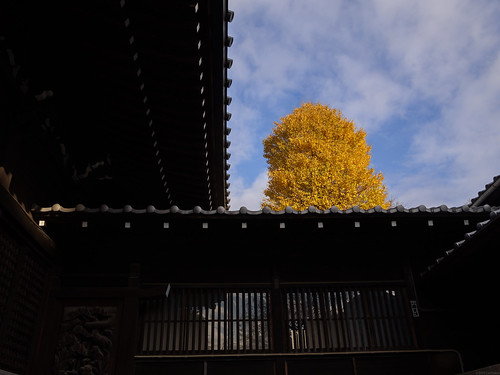 yellow ginkgo at Hakusan Shrine | by cat.fukao