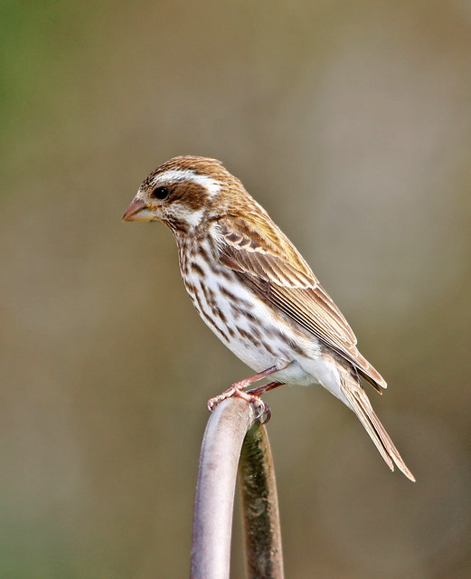 Purple Finch_5384