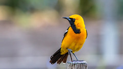 Hooded Oriole photo to appear in bird guidebook